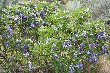 Purple Texas Mountain Laurel Banque d'images