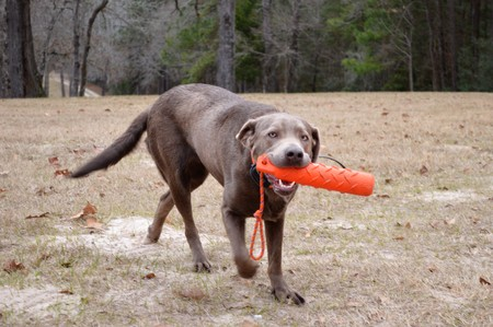 Labrador Retriever dog playing with an orange buoy Stock Photo