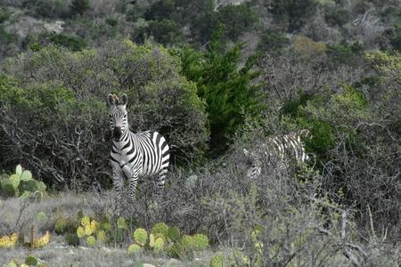 Wild Zebra in a desert