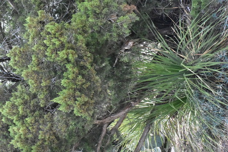 yucca plant under a cedar tree