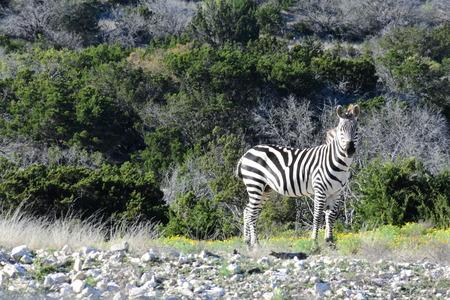 A zebra in the wild Stock Photo