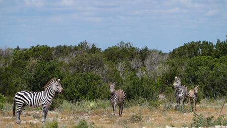 close up of a small zebra herd in the wild Stock Photo