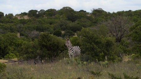 zebra portrait backdrop
