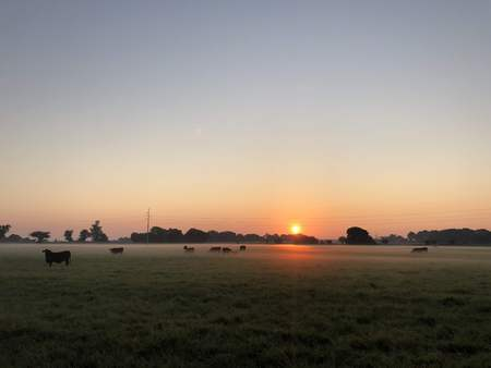 black cows grazing at sunrise Stock Photo