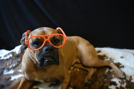 brown boxer breed dog wearing orange glasses