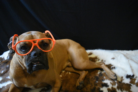 brown boxer breed dog wearing glasses
