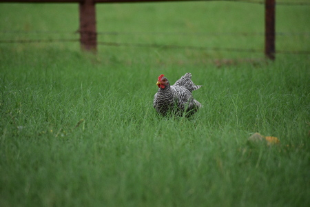 black and white rooster chicken running in thick green grass