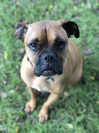 close up of a boxer breed dog 免版税图像