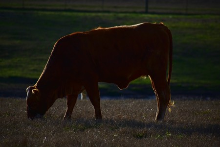 close up of a red cow at sunset Stock Photo