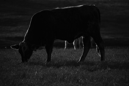 close up of a cow in black and white Stock Photo