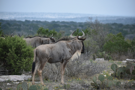 Wildebeest on top of a mountain