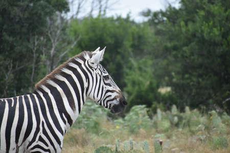 zebra close up portrait in the wild Stock Photo