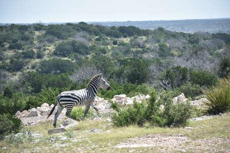 zebra close up portrait in the wild
