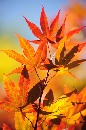 japanese maple tree: Colorful autumn leaves of Japanese Maple tree lit with sun