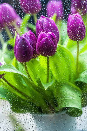vertical format: Purple tulips with fresh green leaves through the window glass with rain drops. Vertical format.
