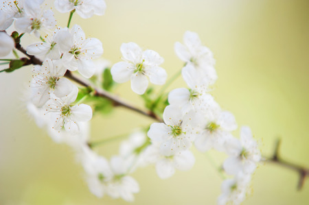 soulful: Blossoming branch of the Cherry Tree in the spring time. Close up of the white blooming flowers and green leaves with creamy bokeh background.