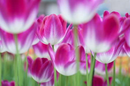 botanic garden: Field of pink-white tulips. Selective focus and low angle of view.Photographed in Keukenhof botanic garden in 2015