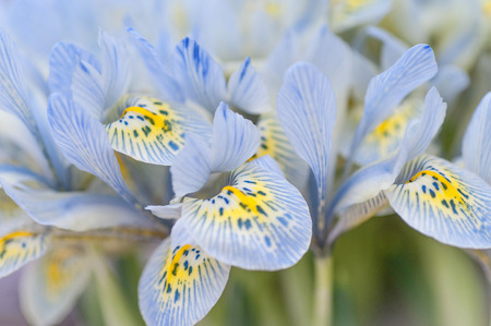 botanic garden: Bunch of blue mini irises. Selective focus.Photographed in Keukenhof botanic garden in 2015