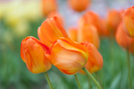 botanic garden: Dutch orange tulips close up. Selective focus. Photographed in Keukenhof botanic garden in Apriil, 2015 Stock Photo