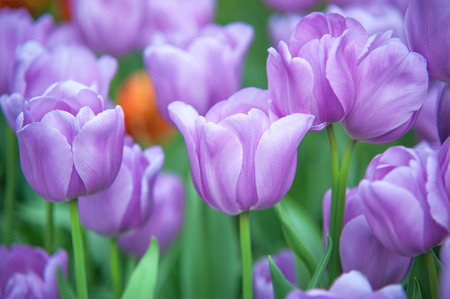 botanic garden: Field of beautiful purple tulips, close up. Selective focus.Picture made in Keukenhof botanic garden in 2015. Stock Photo