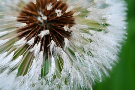 flyaway: Water droplets cling to a Dandelions flyaway seeds