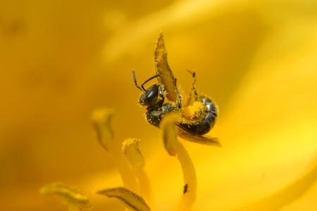 Bee clings to the stamen of a lily