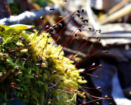 sporen: Tiny Waldmoos Sporenkapseln erreichen nach oben, um die Sonne Lizenzfreie Bilder