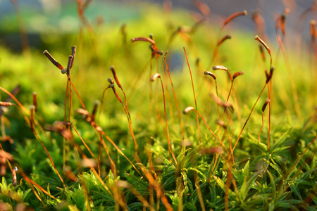 Tiny forest moss spore capsules reach upward Фото со стока