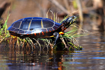 A Painted Turtle sits on the edge of the water sunning himself