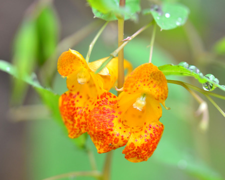 Jewel Weed blossom Imagens