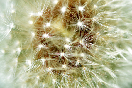The silky parachutes that carry Dandelion seeds