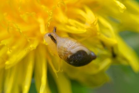 민들레에 달팽이