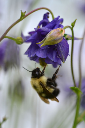 Bumble Bee hangs from a Columbine blossom Banco de Imagens