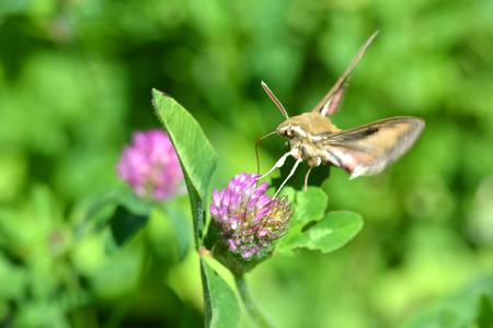 An Elephant Moth gathers nectar from a Clover blossom