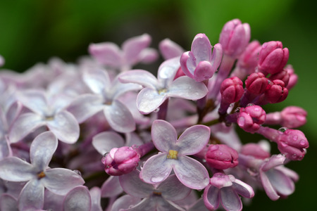 Lilac blossoms with rain droplets