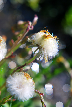 Coltsfoot blossoms have gone to seed in springtime Фото со стока