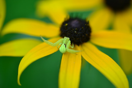 A bright green spider with Black Eyed Susans