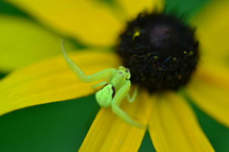 A bright green spider defends a Black Eyed Susan