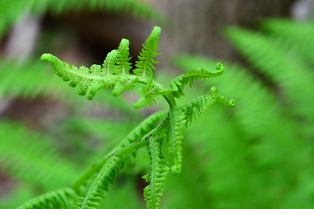 A new royal fern frond unfurls to the sunlight Фото со стока