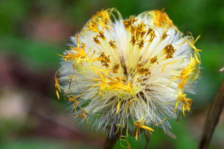 A Coltsfoot blossom has gone to seed Фото со стока