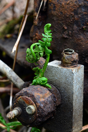 A new fern unfurls its fronds through rusty metal Фото со стока