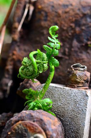 A new fern unfurls its fronds near rusty metal parts