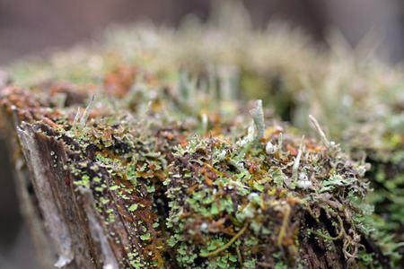 mosses: Tiny mosses and lichens grow on a decaying stump Stock Photo
