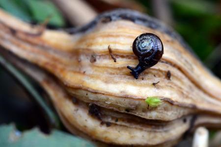 A tiny snail navigates a gall on a woody plant