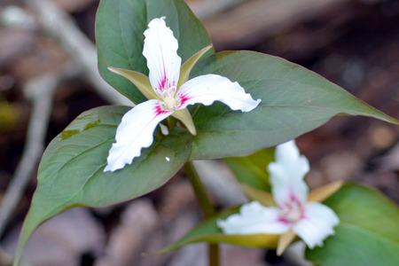 Painted Trillium blooms Фото со стока