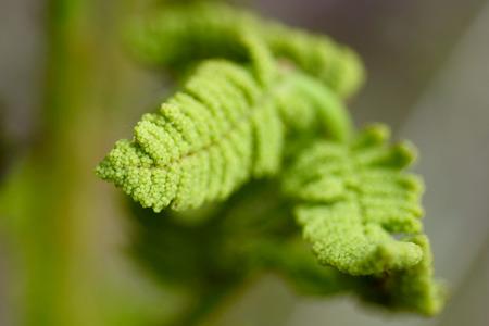 A new fern unfurls its fronds toward sunlight