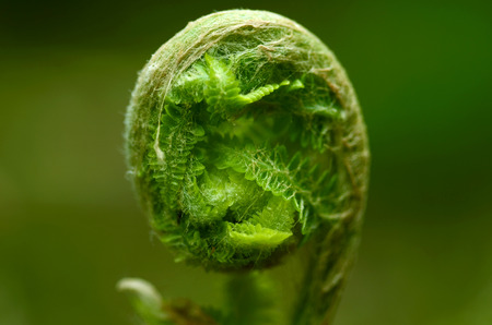 A ferns coiled fronds