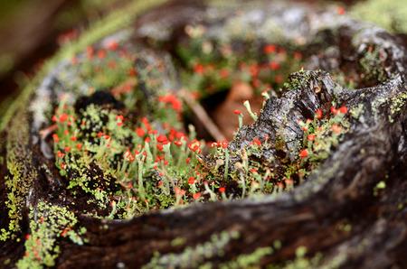British Soldier Lichen grow on a decaying log Фото со стока