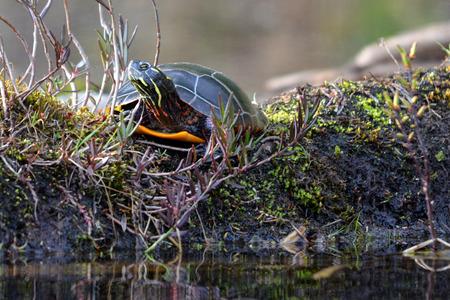 Painted Turtle surveys the lake shore