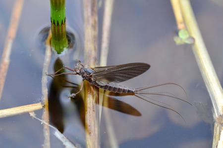 A mayfly rests on a pond surface Фото со стока